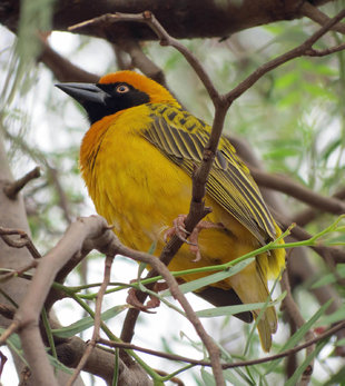Spectacled Weaver Bird, Lake Manyara National Park - Ralph Pannell