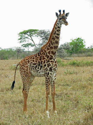 Giraffe in Serengeti National Park - Ralph Pannell