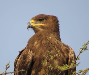 Steppe Eagle in Serengeti National Park - Howard & Sarah Bruce