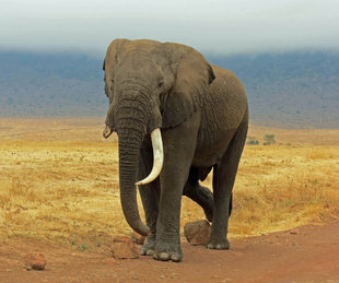 Elephant in Ngorongoro Crater - Ralph Pannell
