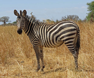 Zebra in Tarangire National Park - Ralph Pannell
