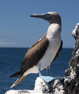 Blue Footed Booby off the coast of Isabela Island Galapagos - Wildlife Photography by Ralph Pannell AQUA-FIRMA