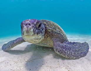 Green Turtles often look grey in the Galapagos