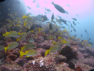 fish-shoal-diving-galapagos-marine-life.jpg