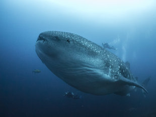 whale-shark-galapagos-diving-liveaboard-dr-simon-pierce.jpg