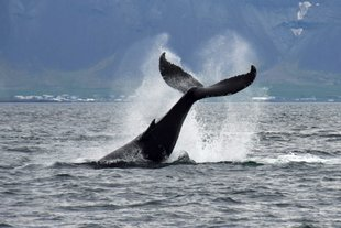 Whale-watching-tour-Reykjavik-Iceland-tail-old-harbour-rafting