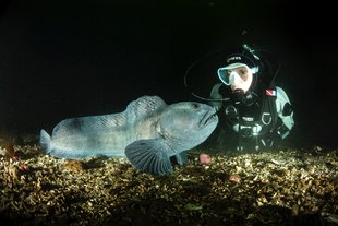 wolffish-and-diver-close-up-iceland.jpg