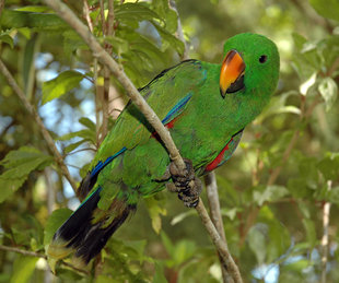 Male Eclectus Parrot in New Ireland