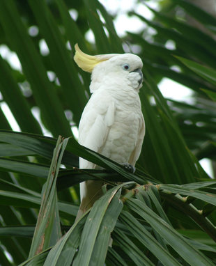 Cockatoo in Papua New Guinea