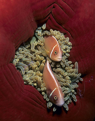 Clownfish in Anenome in New Britain - Franco Banfi