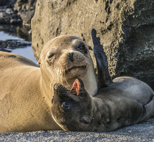 Galapagos sealion mum and calf - photo: Dr Simon Pierce MMF / Aqua-Firma