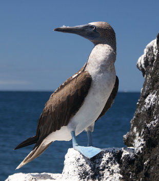 Blue Footed Booby off the coast of Isabela Island in the Galapagos birdwatching photography by Ralph Pannell Aqua-Firma