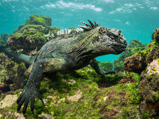 Marine Iguana underwater in the Galapagos Islands scuba photography by Dr Simon Pierce MMF / Aqua-Firma