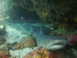 Galapagos White Tip Sharks scuba diving underwater photography by Erik Jan Rijkhorst