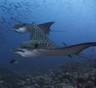 Spotted Eagle Rays at Wolf Island , Galapagos by Daniel Holmes