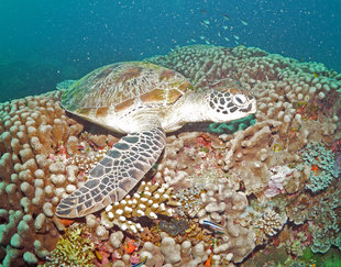 Turtle Resting on Coral Reef at Komodo (c) Ralph Pannell Underwater Photography AQUA-FIRMA scuba dive diving travel holiday.jpg