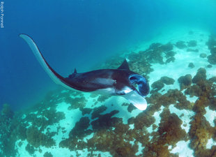 Manta-Ray-Komodo-Ralph-Pannell-AQUA-FIRMA-dive-snorkel-research-microplastic-photo-ID-underwater-photography-scuba-dive-travel-holiday-mobula-2200.jpg