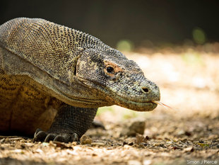Komodo Dragon (c) Dr-Simon J Pierce Indonesia wildlife photography-lizard-reptile-Indonesia dive snorkel holiday tour Rinca Island.jpg