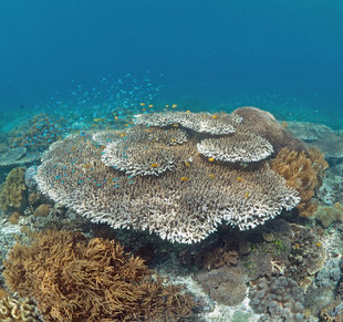 Acropora-table-coral-hard-reef-Komodo-snorkel-scuba-dive-travel-diving-holiday-Indonesia-(c)-Ralph-Pannell-AQUA-FIRMA.jpg