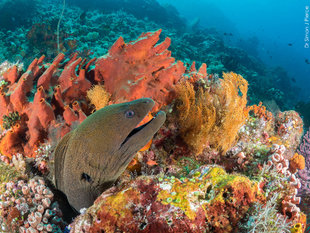 Moray Eel Komodo & rich coral reefs of Indonesia scuba diving dive snorkel-Dr-Simon-Pierce underwater photography travel holiday MMF.jpg