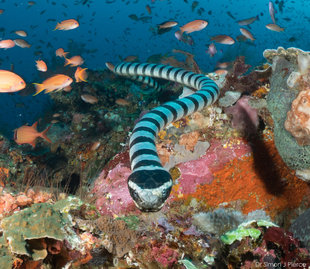 Banded Sea Snake Komodo Dr Simon Pierce Indonesia scuba dive travel diving holiday coral reef fishes biodiversity MMF.jpg