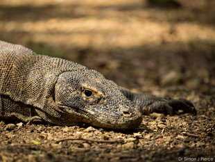 Komodo Dragon Rinca Island (c) Dr Simon J Pierce Indonesian wildlife photography travel dive snorkel holiday tour.jpg