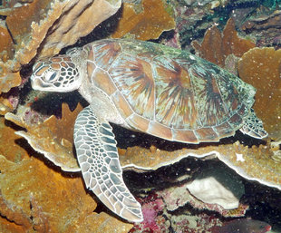 Turtle-on-Coral-Reef-Komodo-dive-diving-underwater-photography-(c)-Ralph-Pannell-AQUA-FIRMA-scuba-travel-holiday.jpg