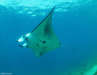 Komodo-Manta-Ray-Mobula-Alfredi-(c)-Ralph-Pannell-AQUA-FIRMA-Indonesia-snorkel-freedive-dive-scuba-travel-holiday-underwater-photography-Lumix-GX80-Nauticam-housing-Apr-2018.jpg