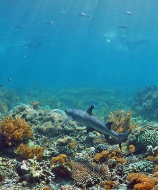white-tip-reef-shark-komodo-reefs-with-snorkellers-c-ralph-pannell-aqua-firma-research-scuba-diving-travel-dive-holiday-coral-diversity-underwater-photography.jpg