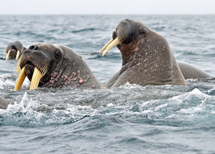 walrus-arctic-spitsbergen-svalbard-polar-travel-wildlife-marine-life-voyage-expedition-cruise-holiday-vacation-photography-doug-annie-howes.jpg