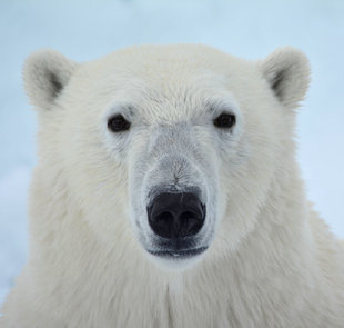 polar-bear-special-north-spitsbergen-longyearbyen-svalbard-gallery-voyage-expedition-landscape-photography-cruise-holiday-vacation-wildlife-louise-morgan.jpg