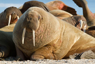 walrus-polar-bear-special-north-spitsbergen-longyearbyen-svalbard-gallery-voyage-expedition-travel-photography-cruise-holiday-vacation-wildlife-Bill-Smith.jpeg