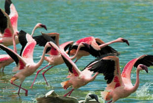Flamingoes in Momela Lakes, Arusha National Park