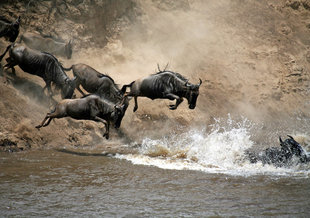Mara River Crossing during The Great Migration