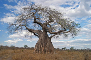 Baobab Tree in Ruaha National Park - Ralph Pannell