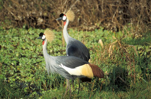 Great Crested Crane in Tanzania