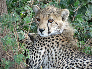 Cheetah in Serengeti National Park - Ralph Pannell