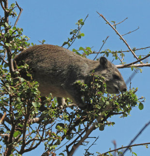 Hyrax in Serengeti National Park - Ralph Pannell