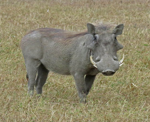 Warthog in Serengeti National Park - Ralph Pannell