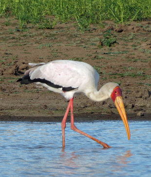 Stork in Selous Game Reserve - Ralph Pannell