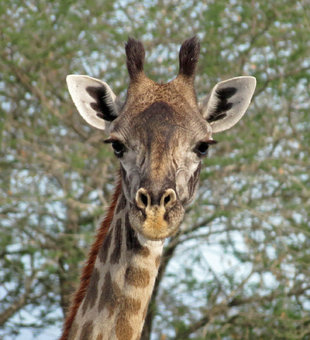 Giraffe in Selous Game Reserve - Ralph Pannell