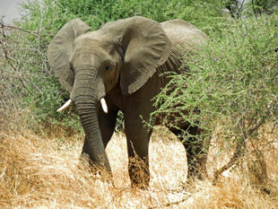 Elephant in Tanzania - Ralph Pannell