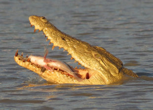 Crocodile in Selous Game Reserve - Ralph Pannell