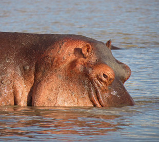 Hippo in Selous Game Reserve - Ralph Pannell