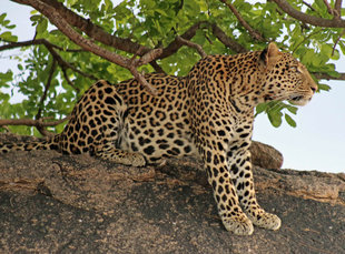 Leopard in Southern Tanzania - Peter Thomas