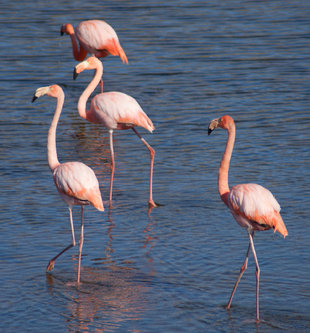 isabela-galapagos-flamingoes-ralph-pannell.jpg