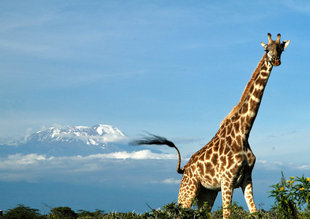 Giraffe Mount Meru Arusha National Park