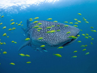Whale Shark Research & Conservation, Mafia Island - Dr Simon Pierce