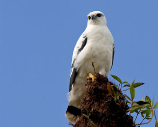 White Hawk in Arenal Volcano National Park