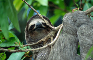Sloth in Tortuguero National Park
